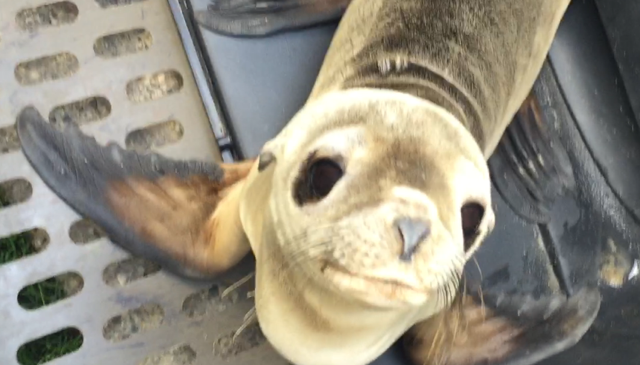 MamaBear executive helped rescue the baby sea lion with the help of the respected California Wildlife Center